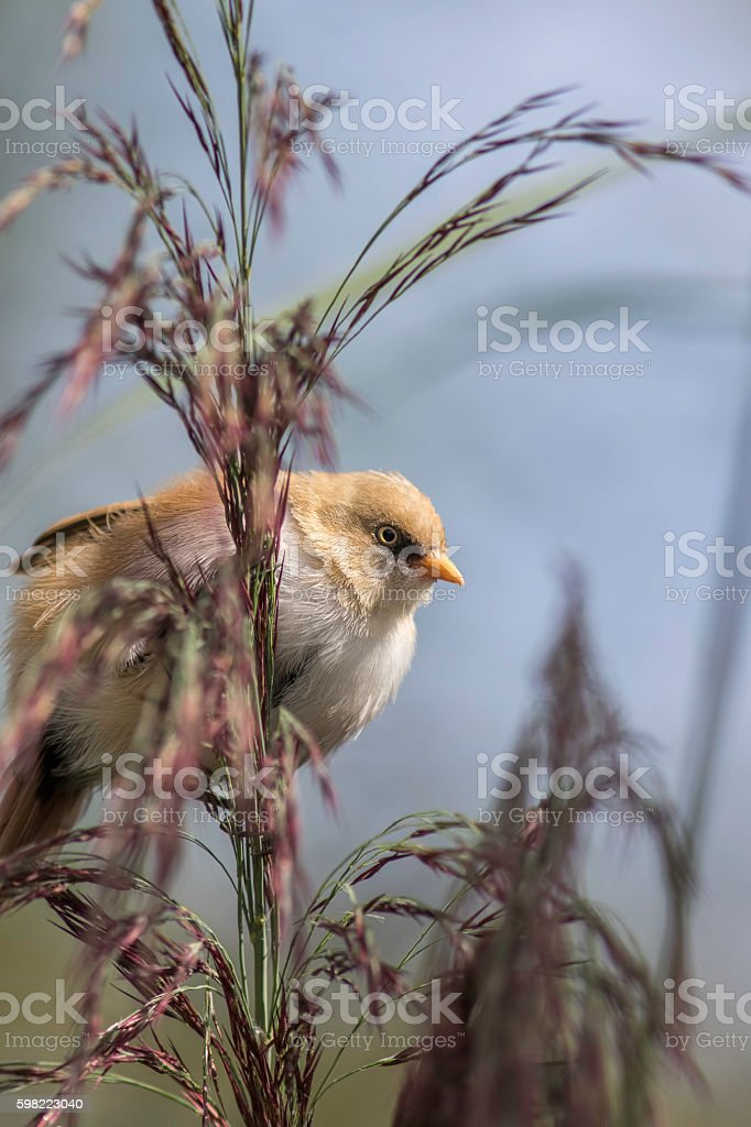 Juvenile Bearded Tit (Reedling) behind foliage stock photo