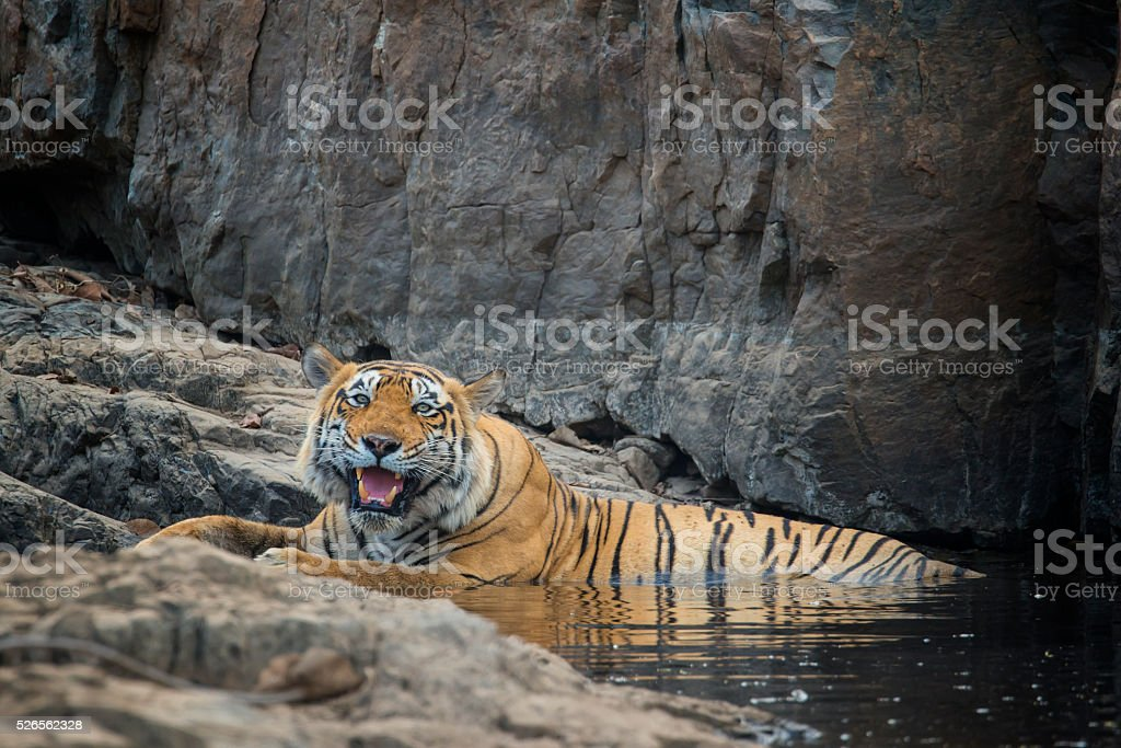 Juvenile Bengal tiger (Panthera tigris tigris) om water, wildlife shot stock photo