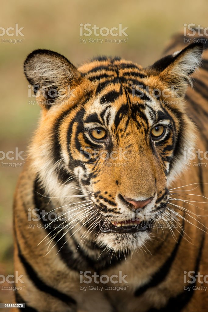 Juvenile Bengal tiger (Panthera tigris tigris), wildlife shot stock photo