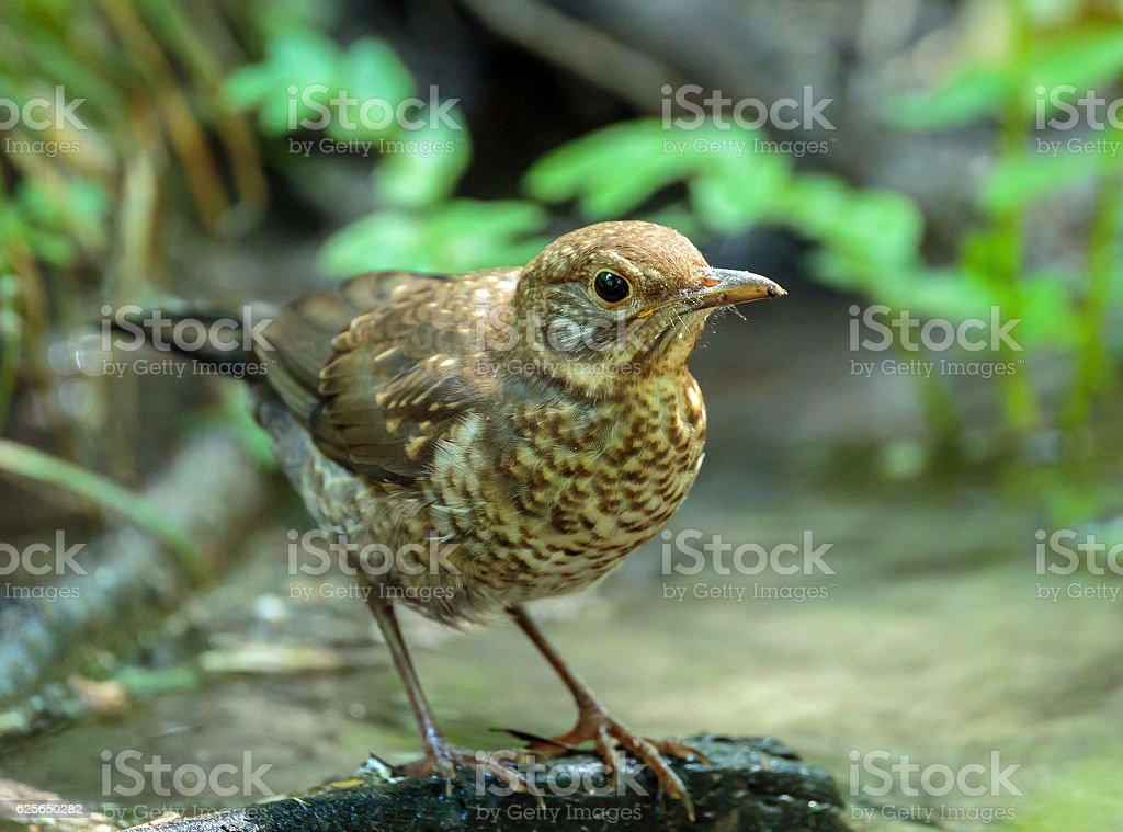 Juvenile blackbird in the forest stock photo
