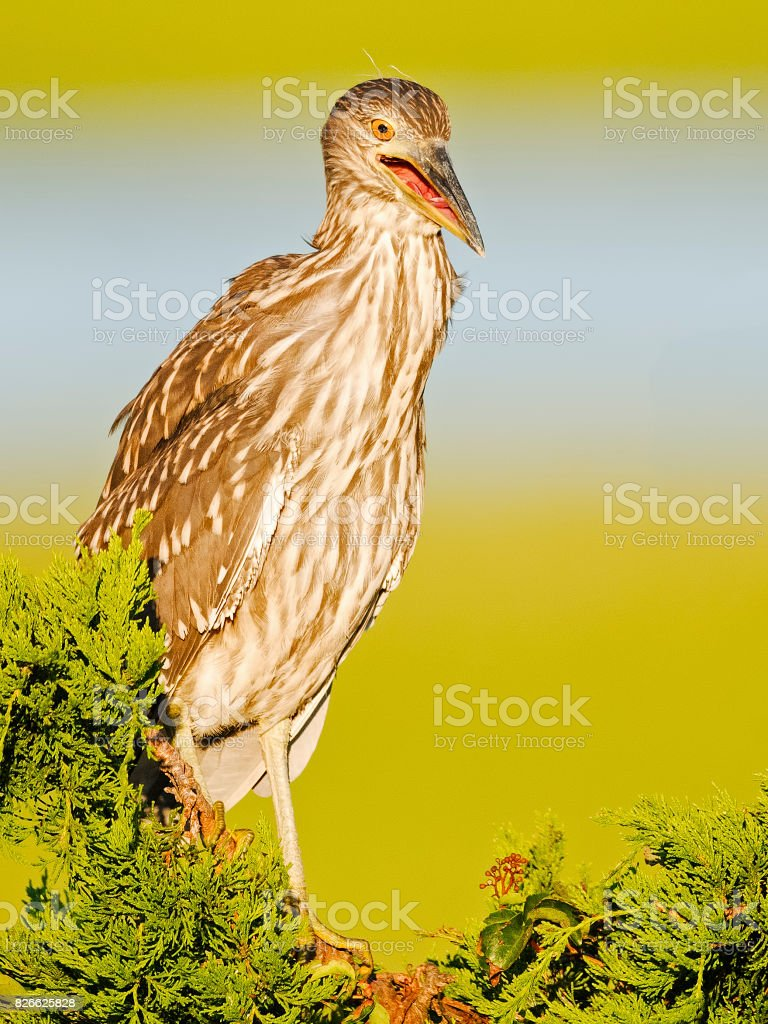 Juvenile Black-crowned Night Heron stock photo
