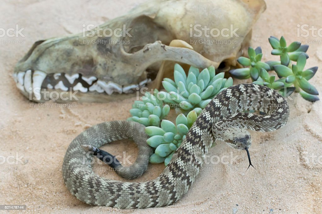Juvenile Black-Tailed Rattlesnake in front of Rotting Coyote Skull stock photo