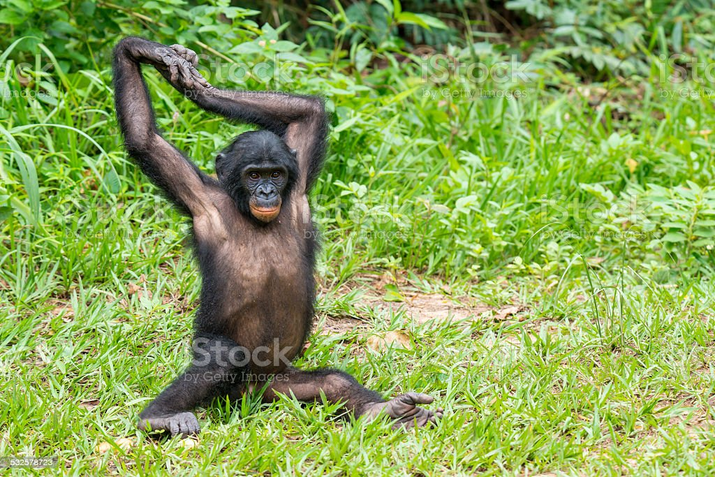 Juvenile Bonobo (Pan paniscus) is stretching his arms stock photo