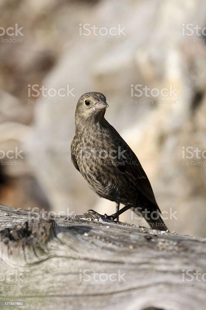 Juvenile Brown-headed Cowbird on a log. stock photo