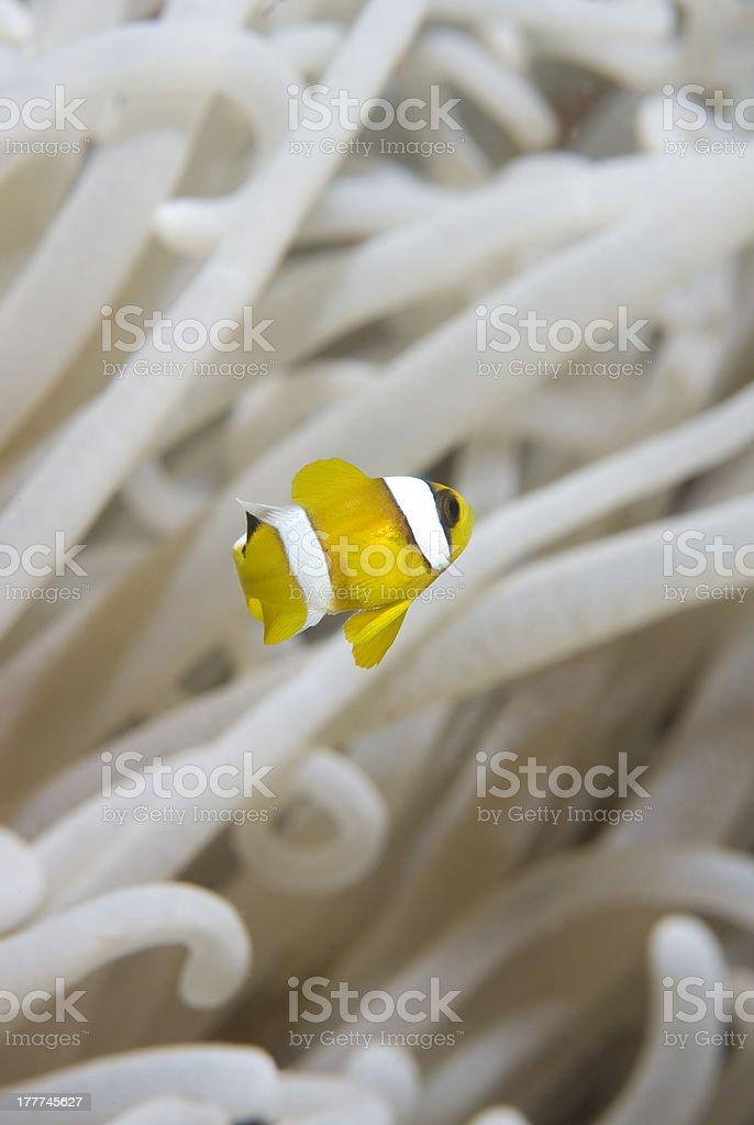 Juvenile clownfish with its anemone. stock photo