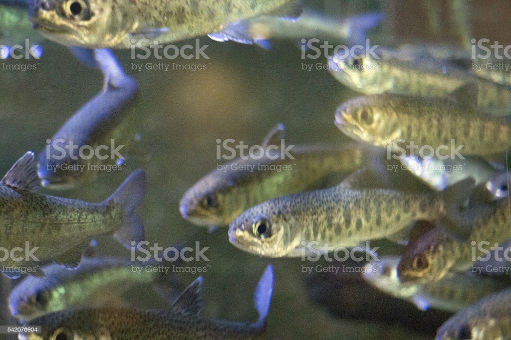 Juvenile Coho Salmon stock photo