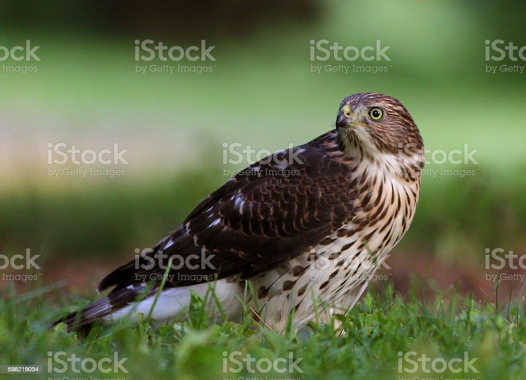 Juvenile Cooper's hawk stock photo