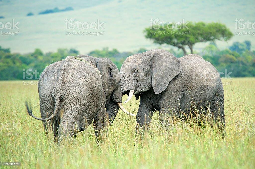 Juvenile Elephants fighting in the Masai Mara stock photo