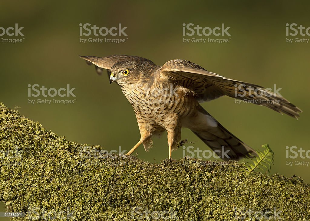Juvenile Eurasian Sparrowhawk (Accipiter nisus) on a mossy log stock photo