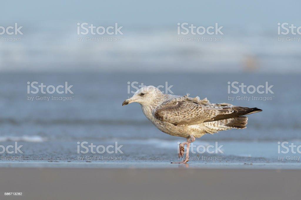 Juvenile European herring gull (Larus argentatus) stock photo
