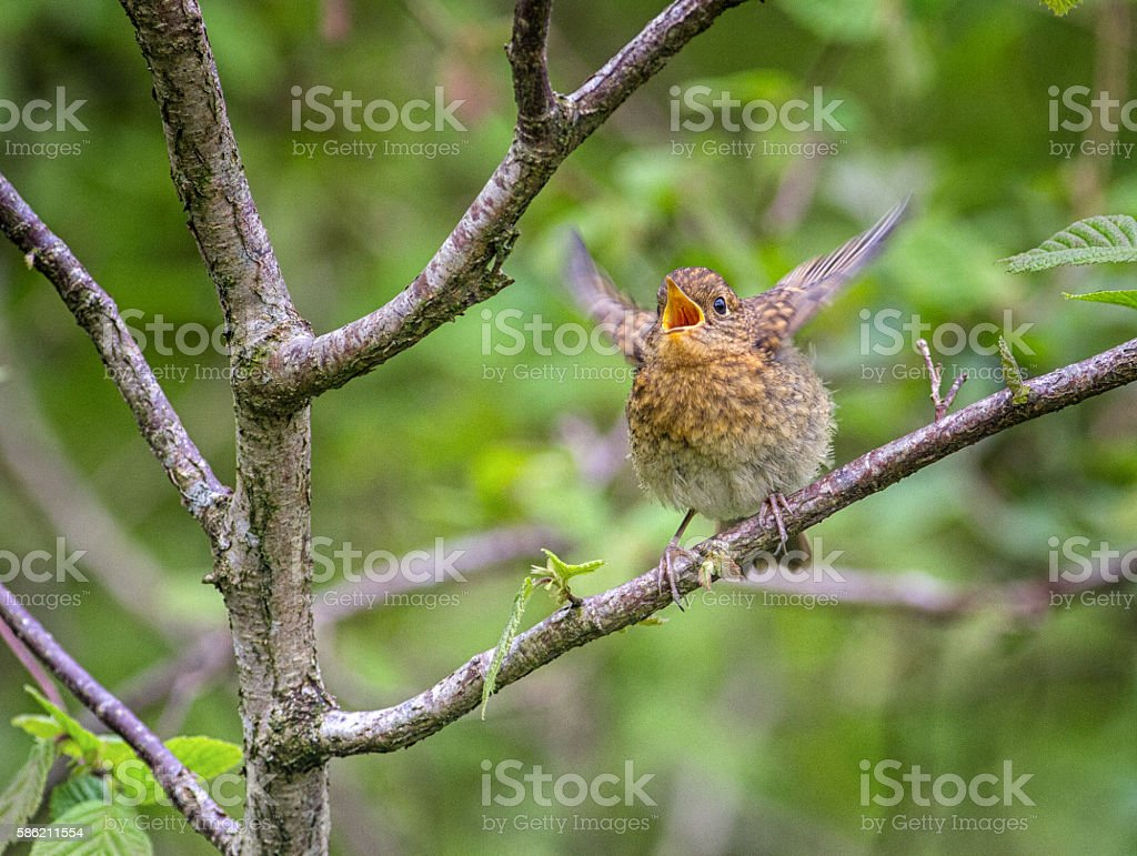 Juvenile European Robin begging for food stock photo