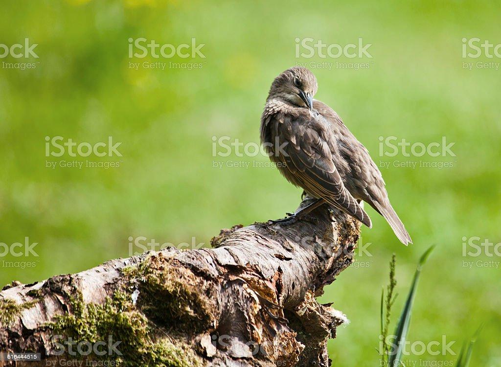 Juvenile European Starling, Sturnus vulgaris, preening stock photo