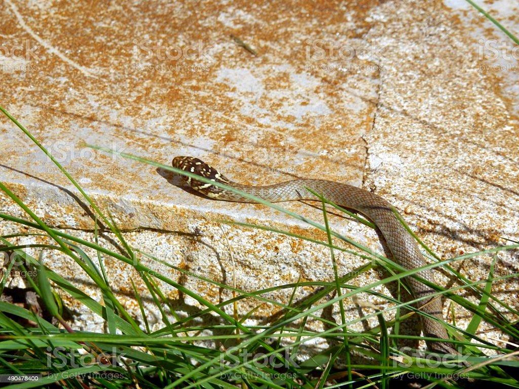 Juvenile European Whip Snake stock photo