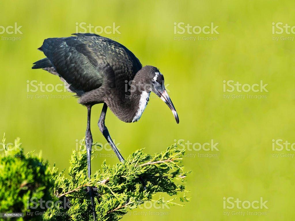 Juvenile Glossy Ibis stock photo