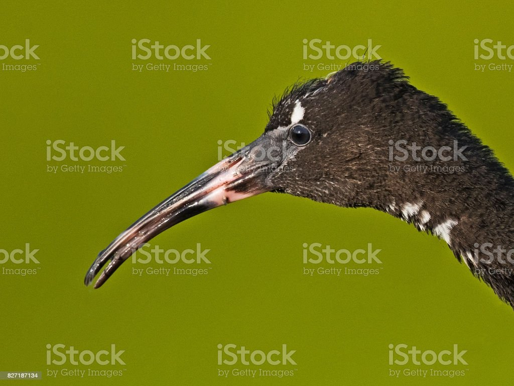 Juvenile Glossy Ibis Portrait stock photo