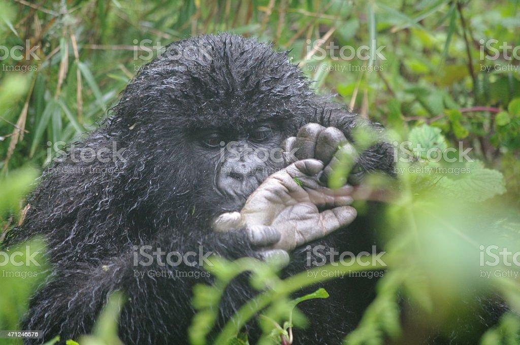 Gorila juvenil inspección pie foto de stock libre de derechos
