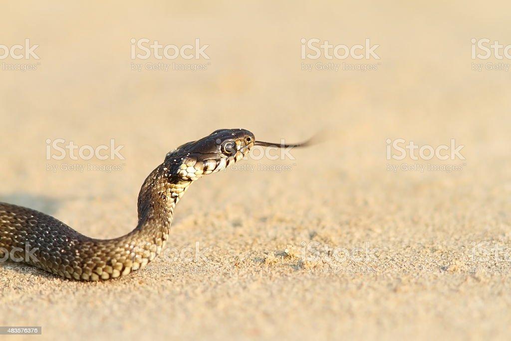 juvenile grass snake on sand stock photo