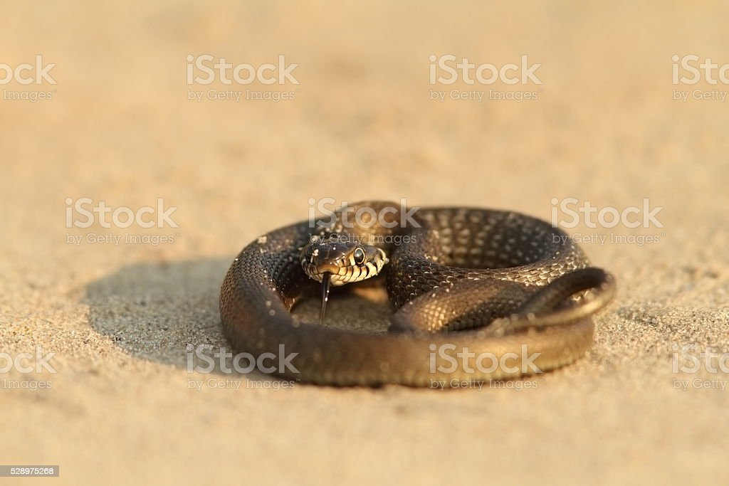juvenile grass snake stock photo