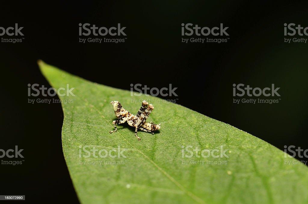 juvenile grasshopper royalty-free stock photo