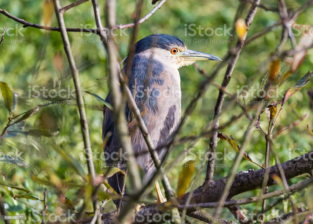 Juvenile Great Blue Heron Perched in a Tree stock photo