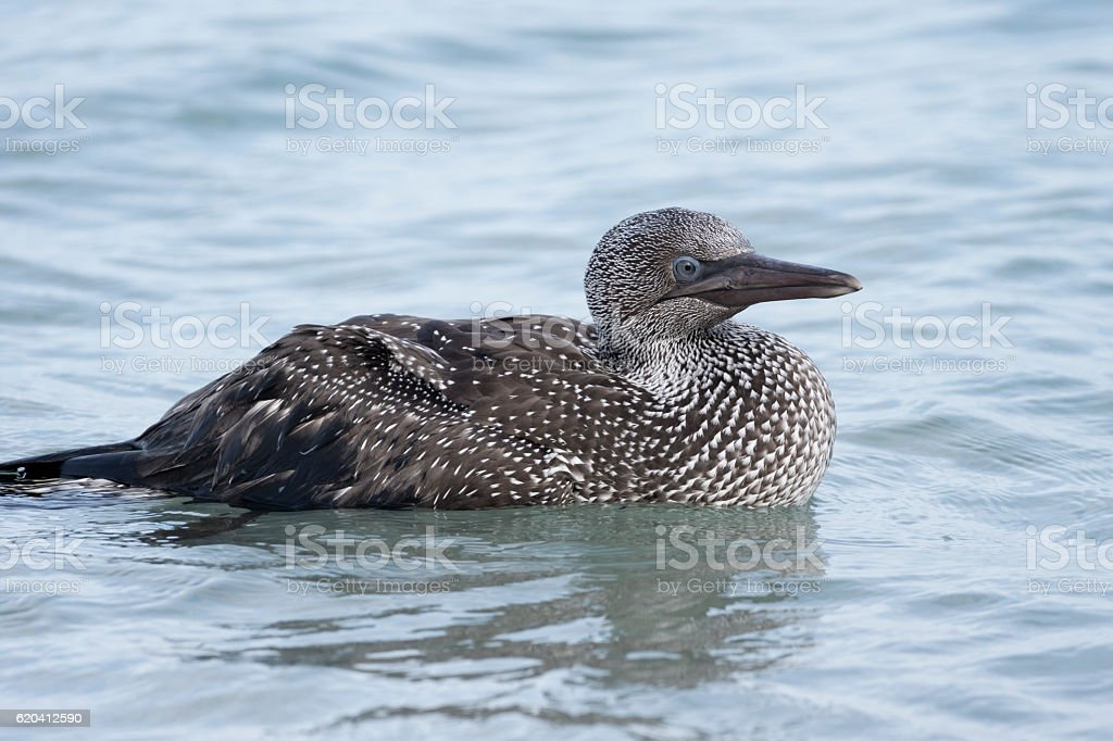 Juvenile Great Northern Diver seen on a Shetland beach stock photo