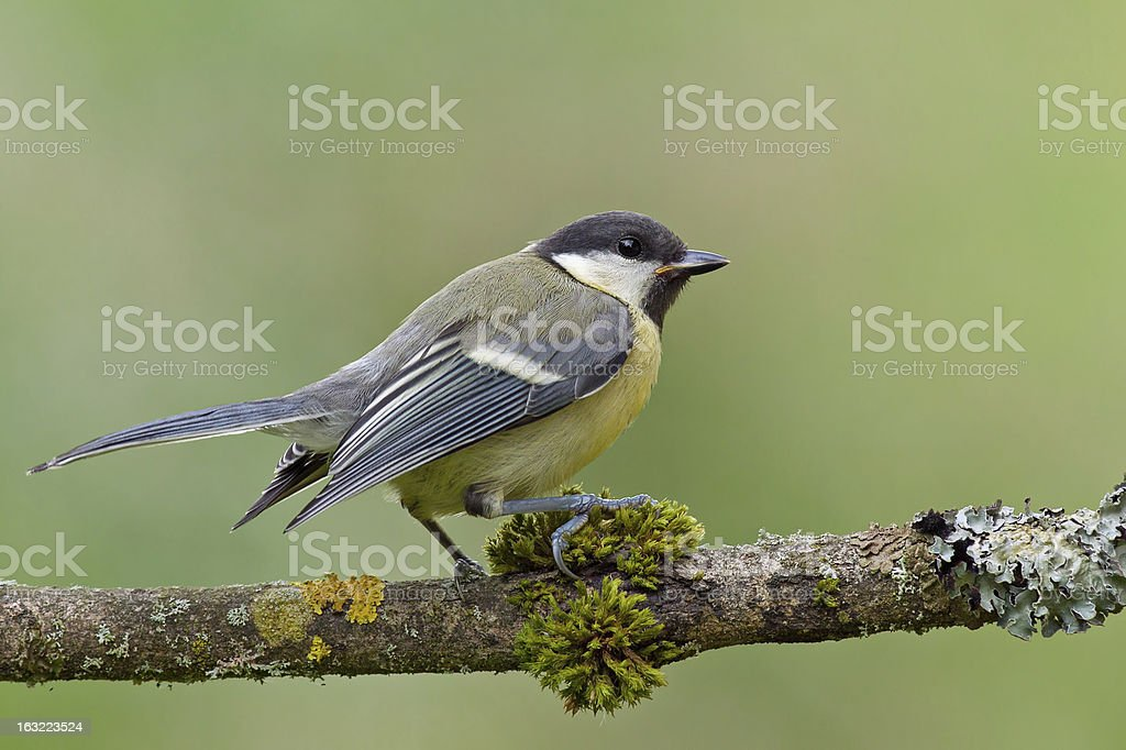 Juvenile great tit (parus major) on a twig. royalty-free stock photo