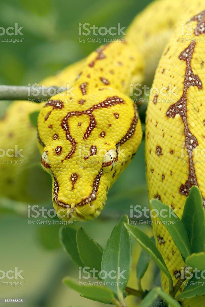 Juvenile Green Tree Python in Rainforest stock photo