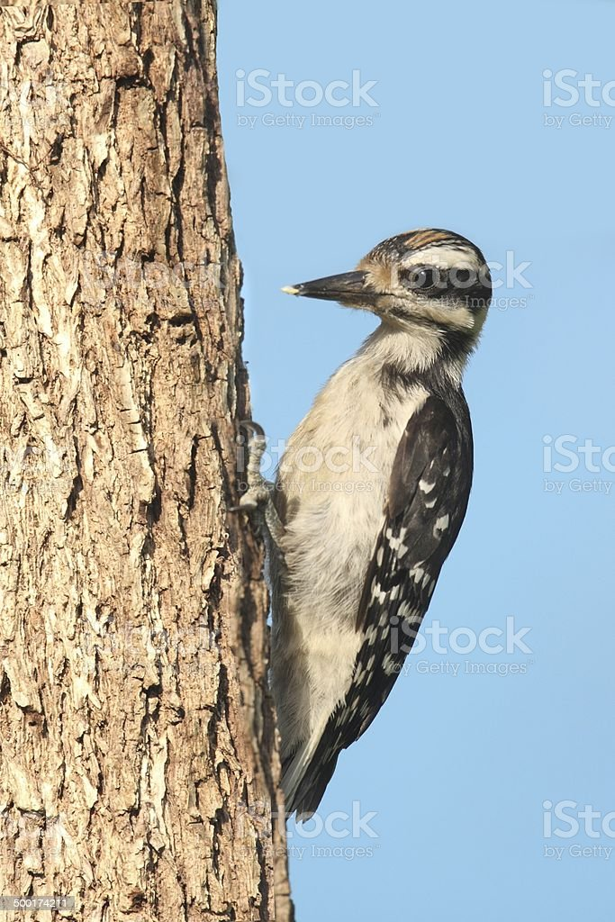 Juvenile Hairy Woodpecker (Picoides villosus) stock photo