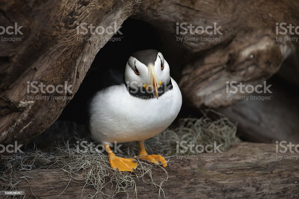 juvenile horned puffin stock photo