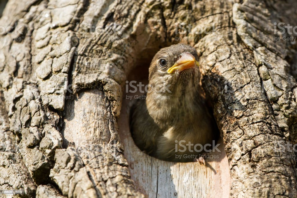 Juvenile House Sparrow (Passer domesticus)Fledging from nest box stock photo