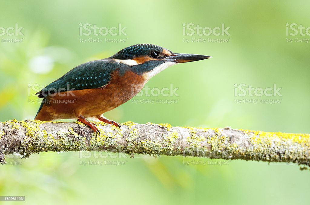 Juvenile Kingfisher perching royalty-free stock photo