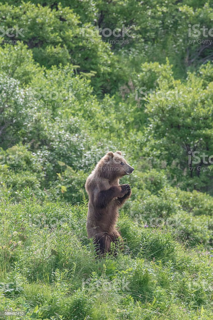 Juvenile Kodiak Brown Bear Standing in Tundra with Hands Clasped stock photo