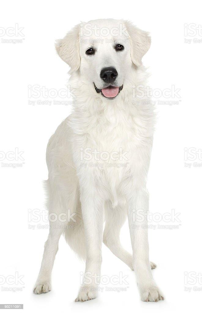 Juvenile Labrador retriever cream royalty-free stock photo