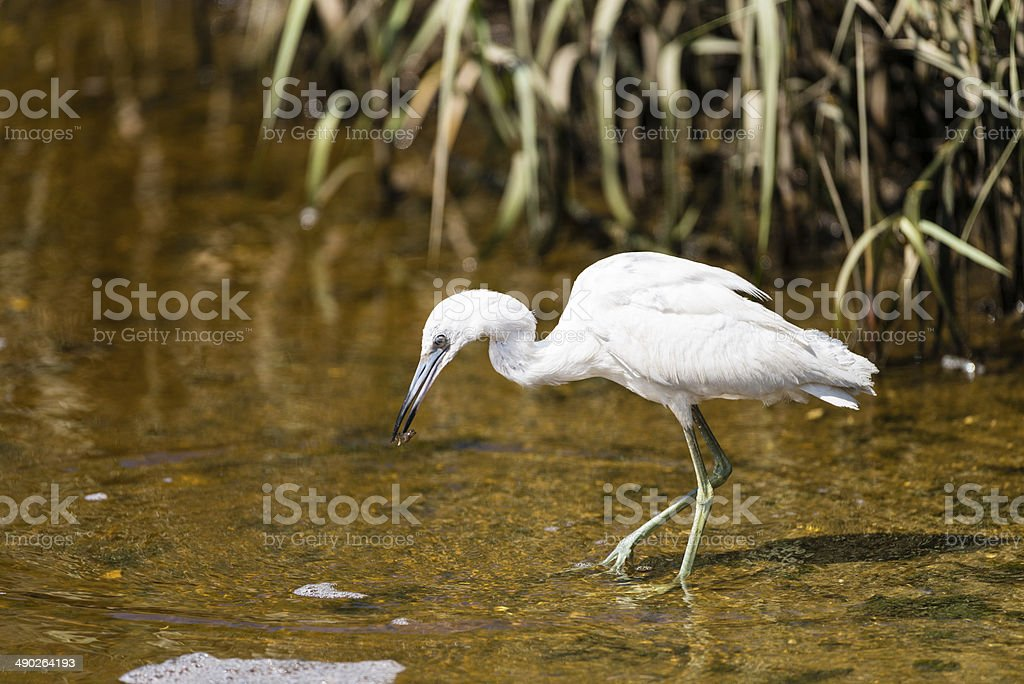 Juvenile Little Blue Heron looking for food stock photo