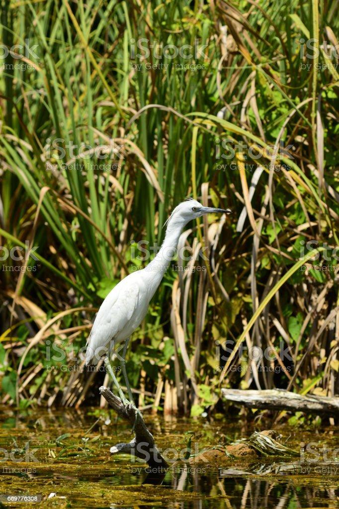 Juvenile Little Blue Heron perched above wetland stock photo