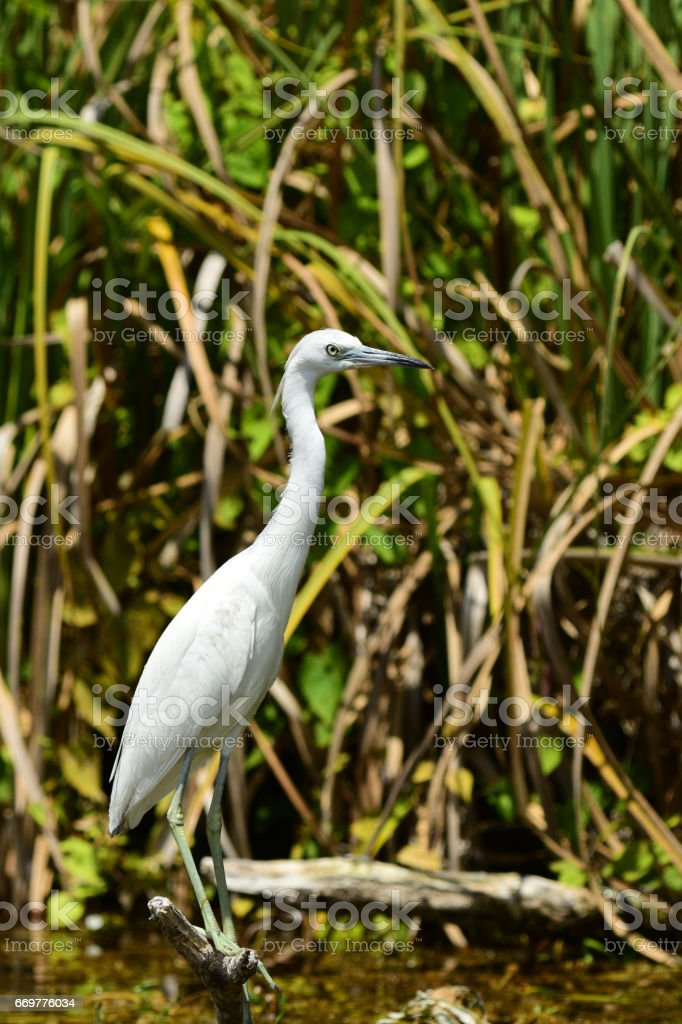 Juvenile Little Blue Heron perched on branch stock photo