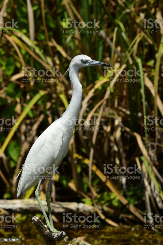 Juvenile Little Blue Heron perched on stick stock photo