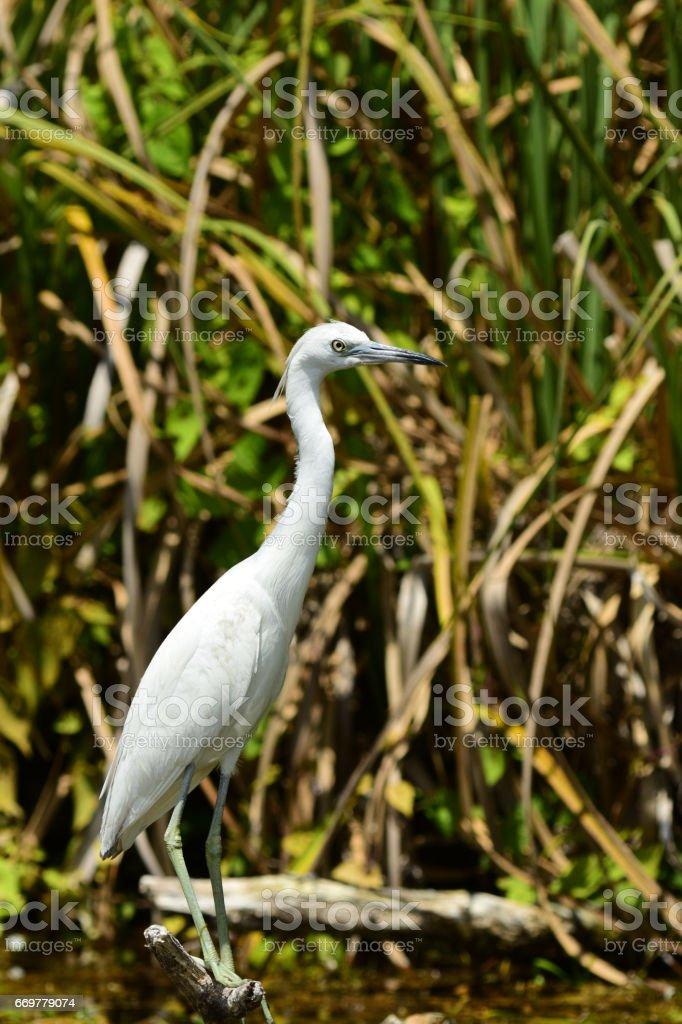 Juvenile Little Blue Heron perched on stick with grasses in background stock photo