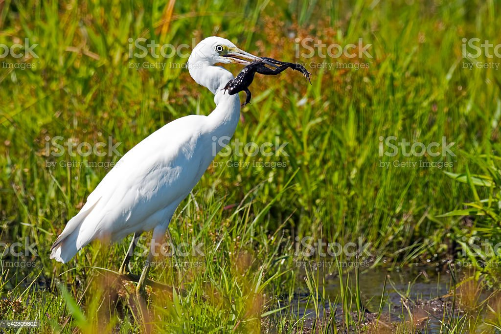 Juvenile Little Blue Heron with Frog stock photo