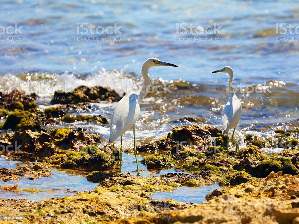 Juvenile Little blue herons (Egretta caerulea) in a seashore stock photo