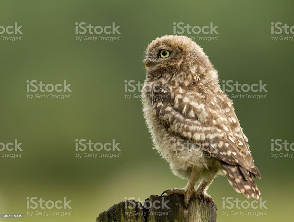 Juvenile little owl from a side-view stock photo