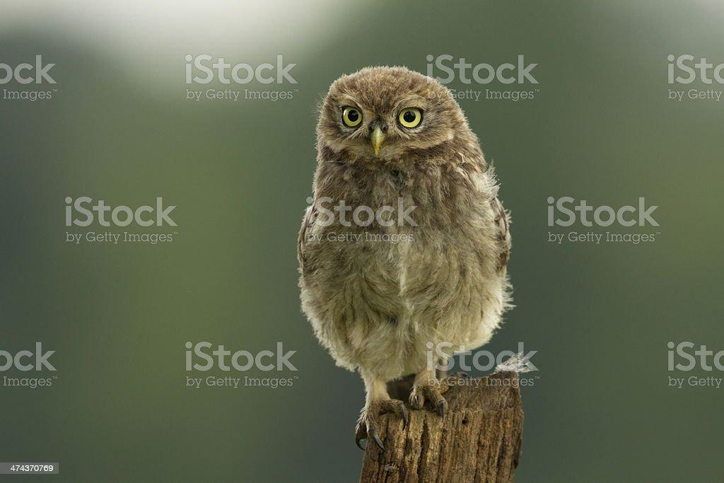 Juvenile Little Owl (Athene noctua) stock photo
