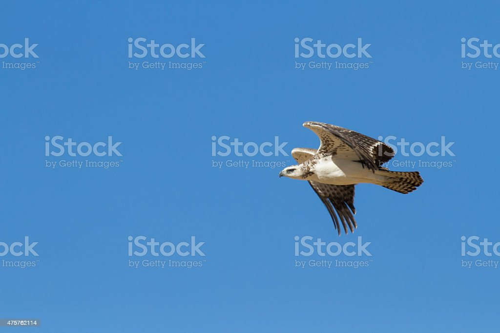 Juvenile majestic martial eagle flying to a nest stock photo