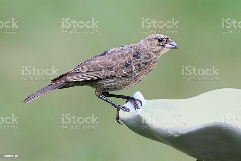 Juvenile Male Brown-headed Cowbird stock photo