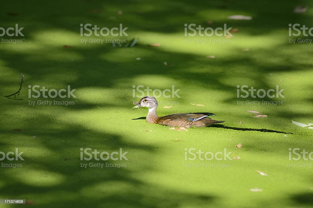 Juvenile Male Wood Duck, Aix sponsa, In Duckweed stock photo