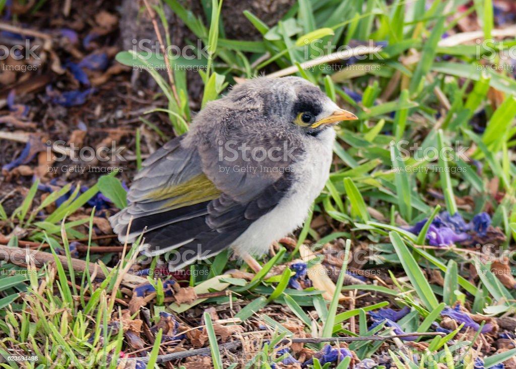 Juvenile Noisy Miner Bird stock photo