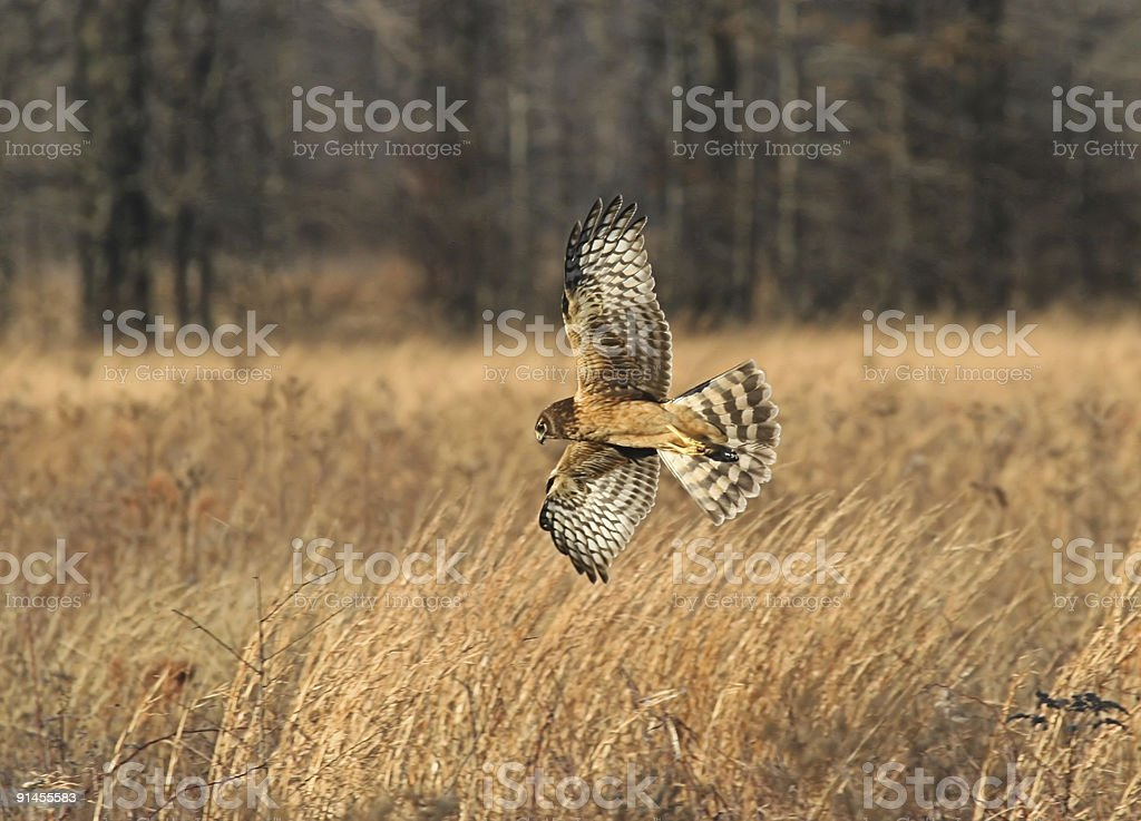 Juvenile Northern Harrier stock photo