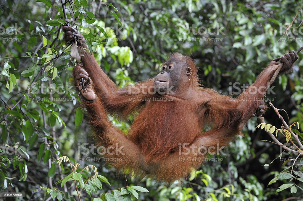 Juvenile Orangutan stock photo