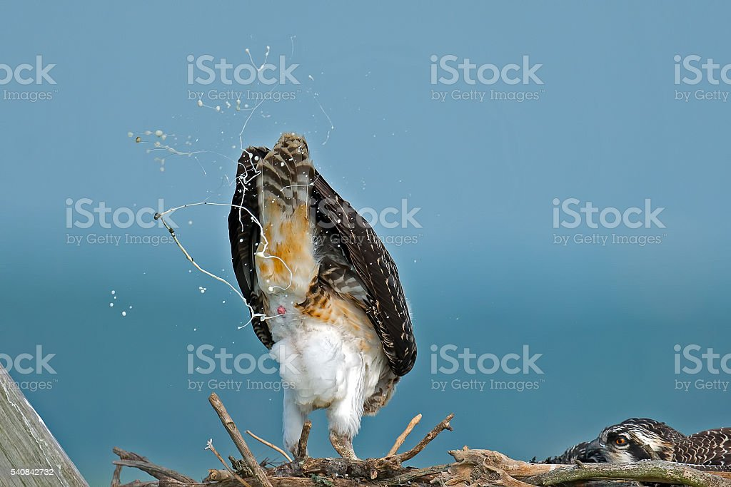 Juvenile Osprey Pooping stock photo