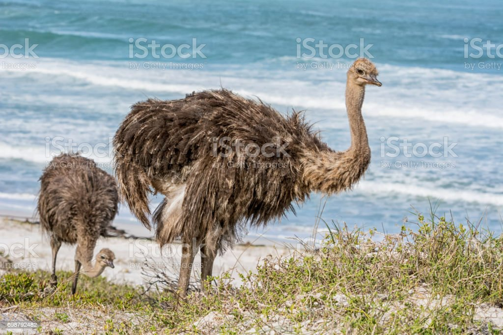 Juvenile Ostrich stock photo